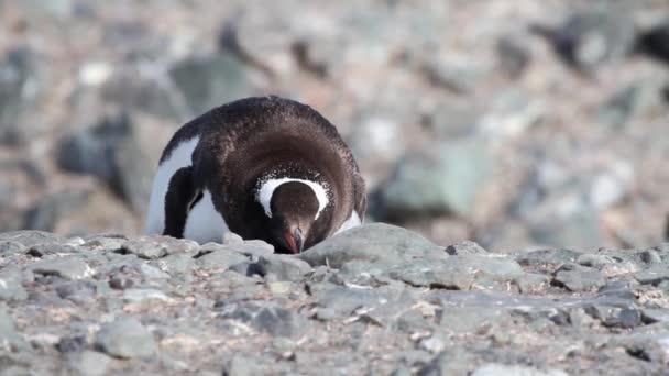 Pinguino che si trova sul puntello roccioso