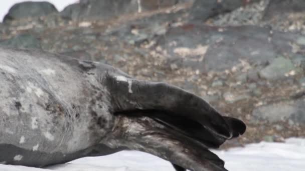 Weddell-fóka karmoló lábak