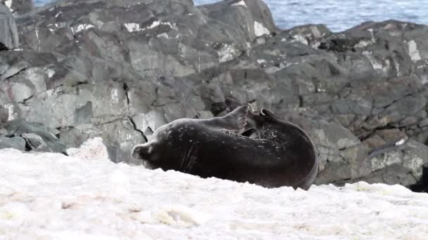 Weddell seal lying