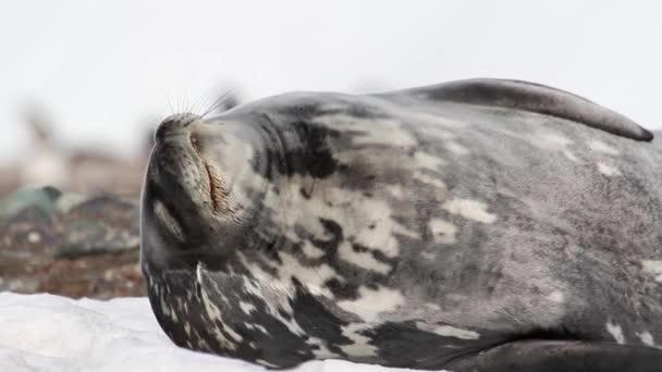 Weddell seal sleeping