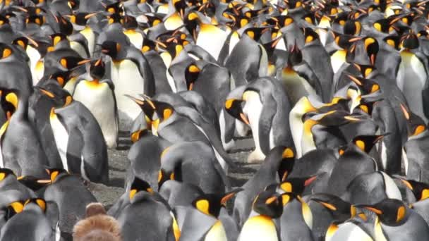 Group of penguins colony