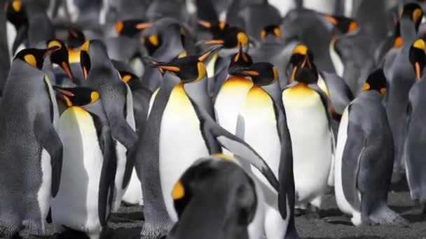 Pingvin kolóniát csoportja