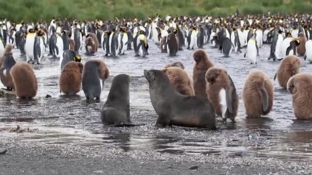 Group of penguins and southern fur seals