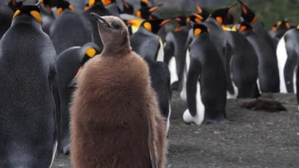 hnědá tučňák stojící