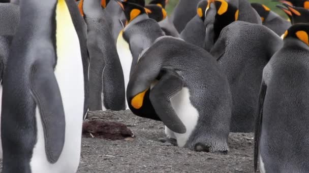 Penguin preening and clean