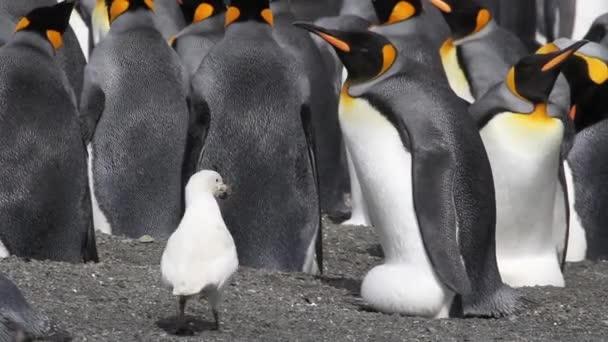 Tokoscsőrűfélék körülvett király pingvinek