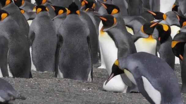 Königspinguin-Kolonie