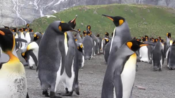 King penguins Colony with chicks