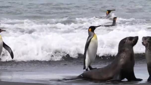 Re pinguini camminare