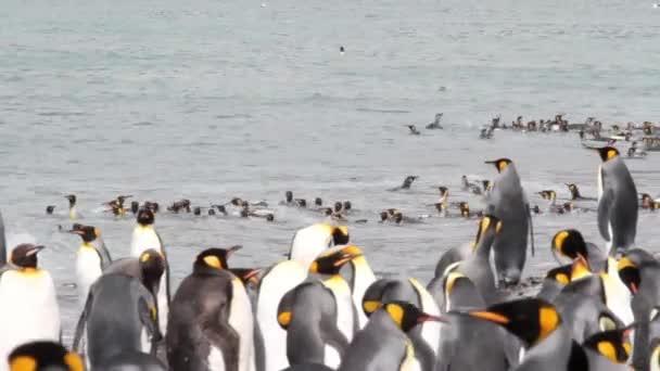 Király pingvinek üdülőtelepen a víz