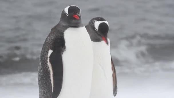 Királypingvinek tollászkodás partján