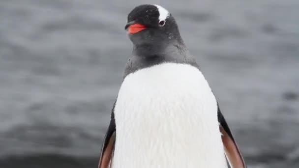 pingvin parti a király