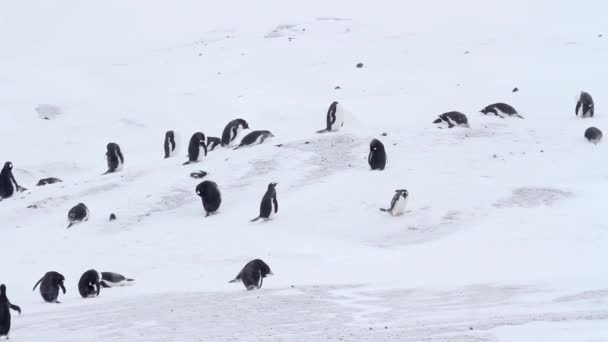 Gentoo penguins in the snow