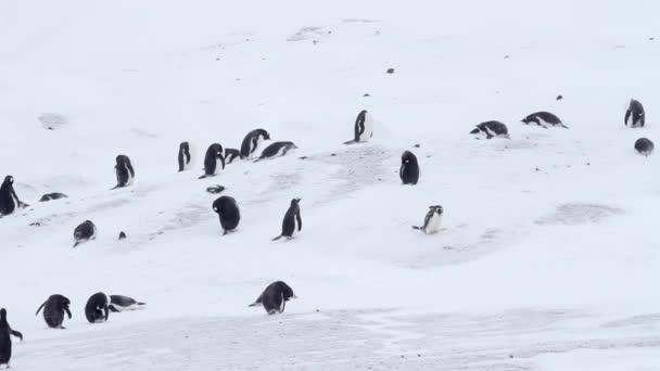 Pinguini di Gentoo nella neve