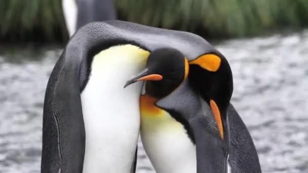Král tučňáci námluvy