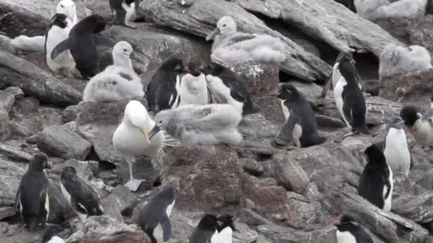 Albatrosses and rockhopper penguins