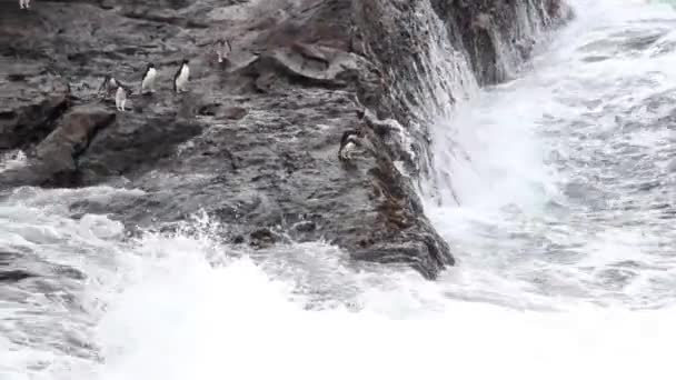 Rockhopper penguins jumps