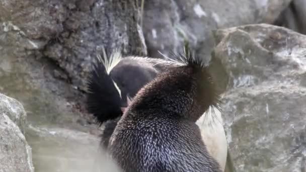 Corteggiamento di pinguini Rockhopper