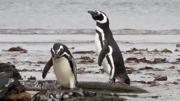 Magellanic penguins standing on the beach