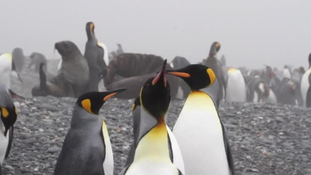 těsnění kolem krále tučňáci