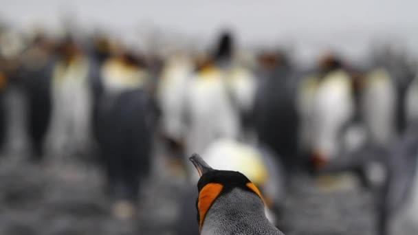König Penguins am Strand
