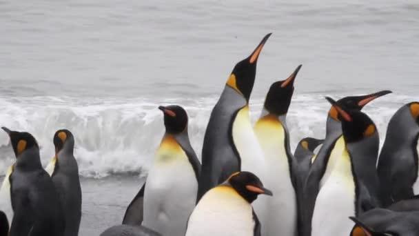 Kolonie tučňáků král