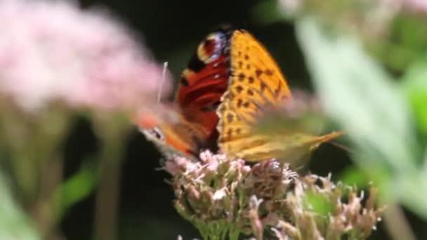 Orange motýlů na květ
