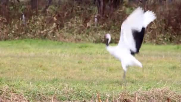 Rotgekrönter Kranich springt