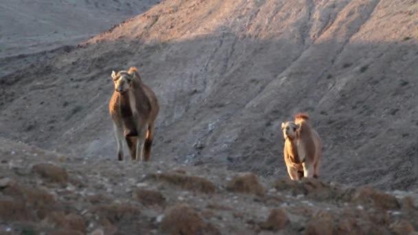 Dromedary camels walks