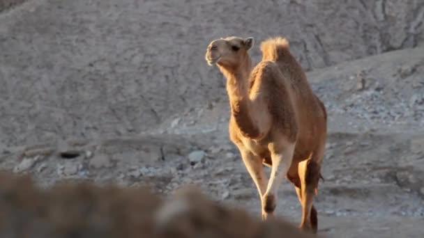 Dromedary camel walks