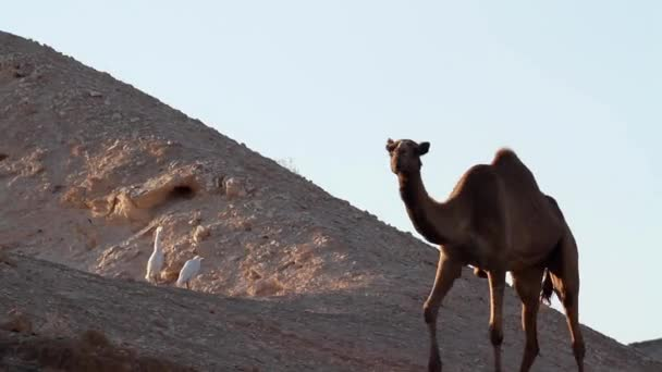 Cattle egrets with camel
