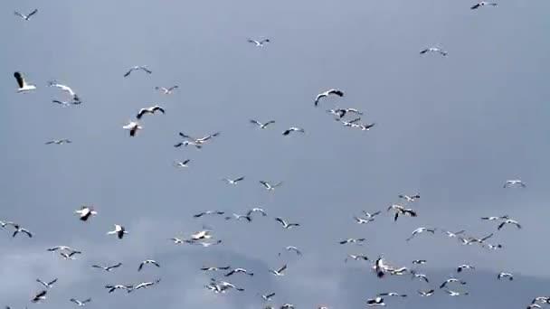 Migrace čápů bílých