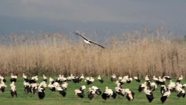 létající Čáp bílý