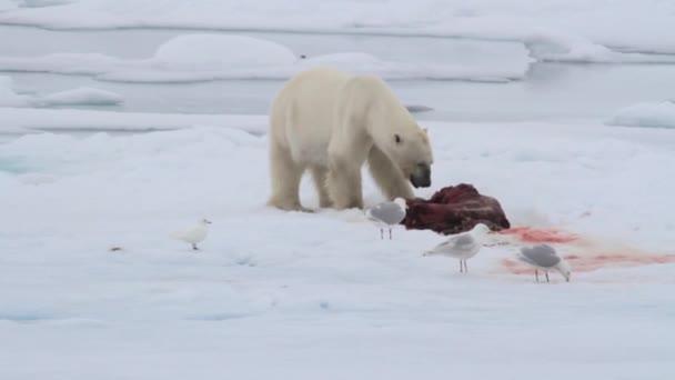 Lední medvěd jíst těsnění