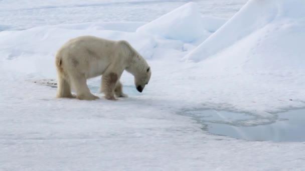 medvěd v arktické krajině