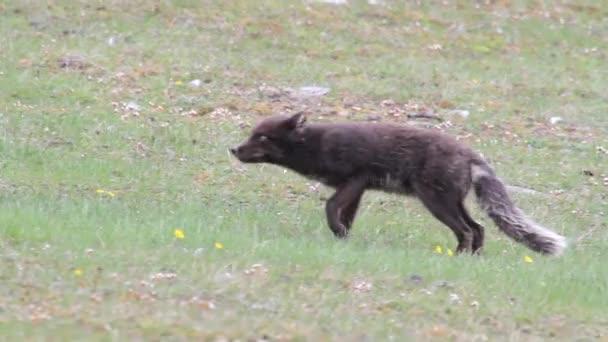 Arctic fox camminare sulle montagne