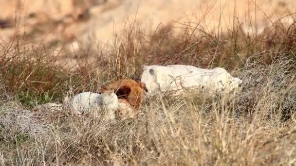 Divoký pes ležící v trávě