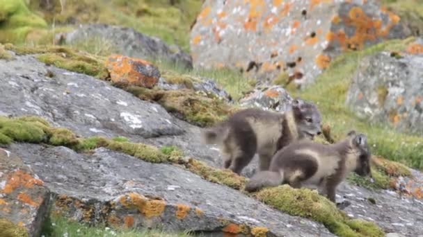Arctic foxes on the rocks