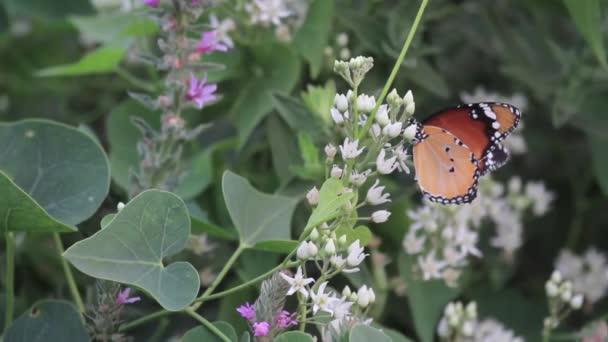 Sima tigris pillangó a virág