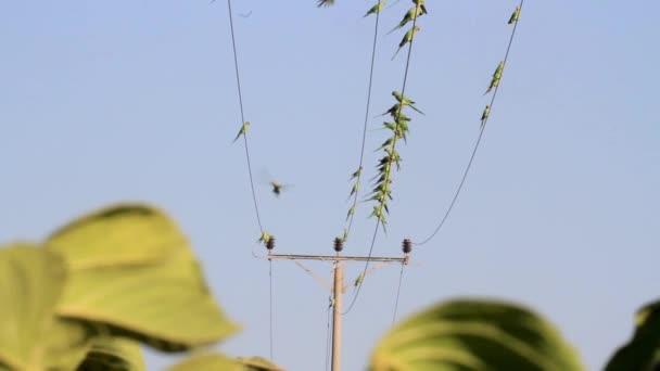 Prstencové hrdlem papoušky