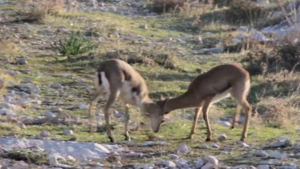 horská gazely boj
