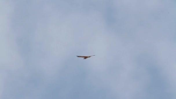 Bonellis eagle flying