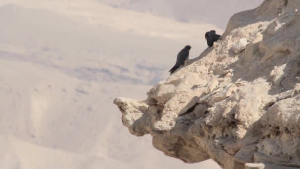 Fuligginosi falchi sulla roccia