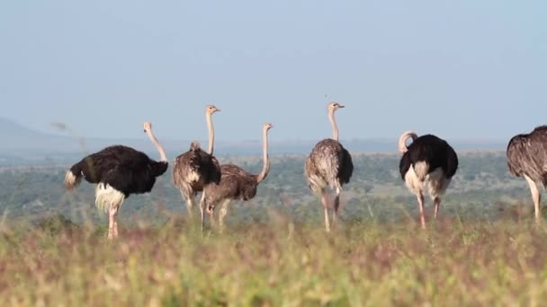 African ostriches preening