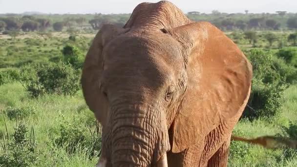 Slon africký v louky