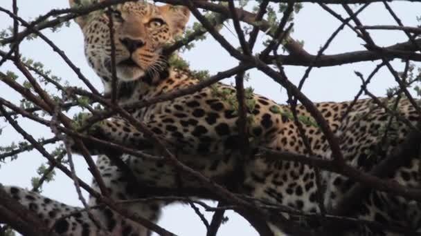 Leopard lying on tree