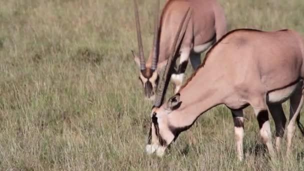 Spießbock Antilopen Weiden