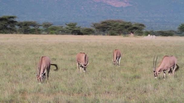 Gemsbok antelopes grazing