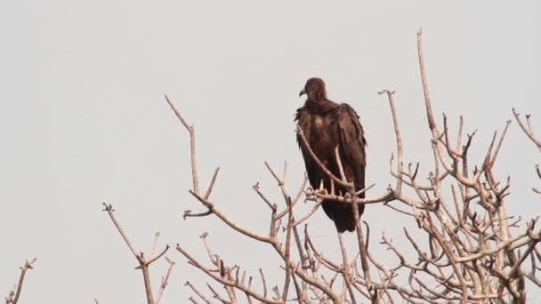 Aquila della steppa si siede su un albero