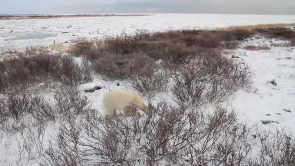 bear nose out in arctic landscape